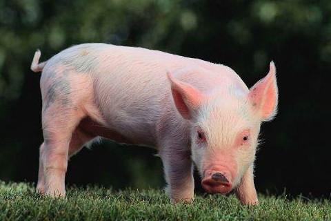 属猪2022年运势及运程详解