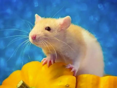 为什么说十鼠九不全生肖鼠命苦吗?