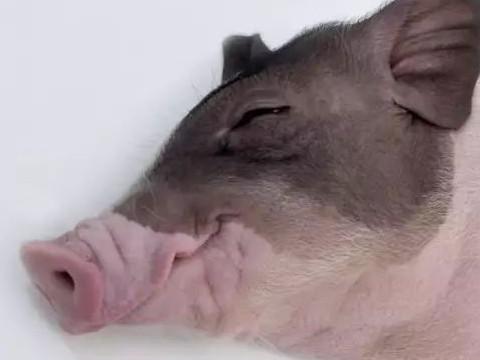 属猪的人品和性格怎么样运气好不好?