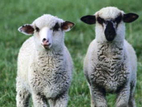 属羊婚配大忌和什么属相相克?