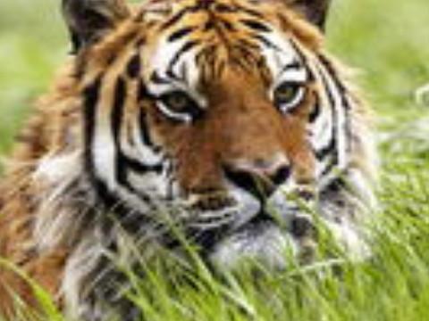 属虎的男人太可怕了脾气大吗有什么弱点?