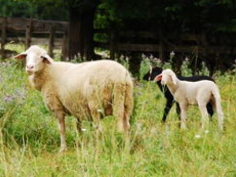 属羊今年有一难佩戴什么吉祥物转运?