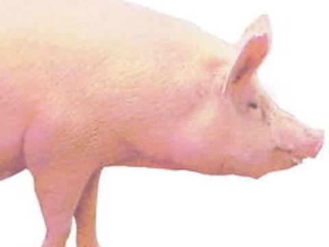 猪人逢牛年2021年会发财吗?