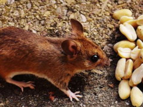 属鼠的今年多大了2021运势好吗?