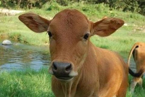 2021年本命年的人是多少岁?属牛人运势如何