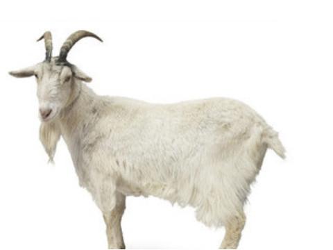 属羊的命运好不好运气旺吗?