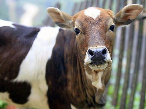 本命年的大忌属牛人如何趋吉避凶?
