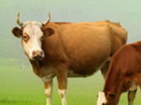 属牛的人在牛年运势怎么样本命年运势旺吗?