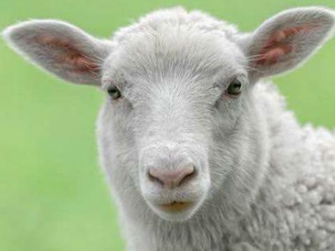 属羊的今年多少岁的今年多大2021年