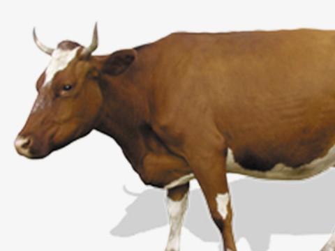 适合属牛人长期佩戴的吉祥物是什么?