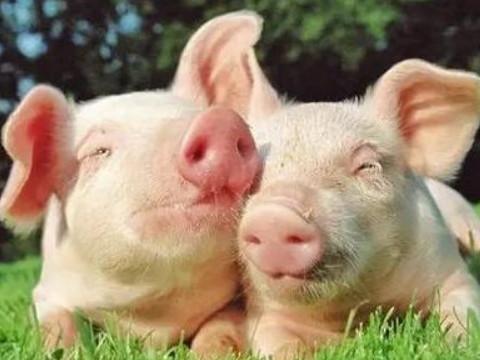 属猪的几月出生最好命能大富大贵?