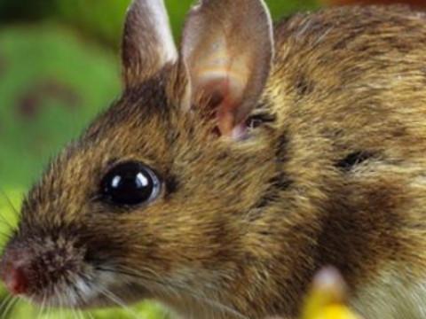 老鼠哪个月份出生最好运命最好?
