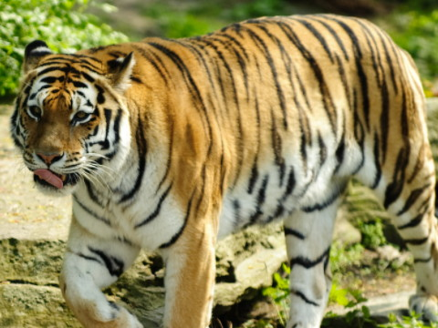 属虎的适合和什么生肖在一起会幸福?