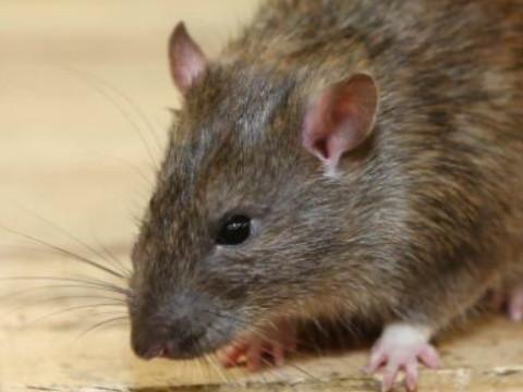 属鼠11月出生最好命好吗?