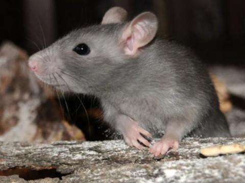 属鼠的今年多大年龄哪年出生的命好吗?