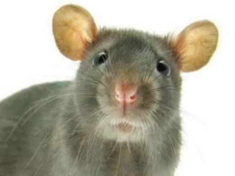 96年属鼠最佳结婚年龄是什么时候?