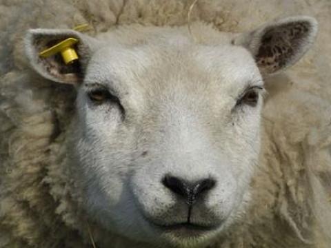 属羊最富贵的出生时辰是什么时候?
