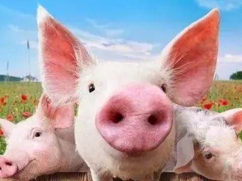 属猪女人感情最大弱点是什么?