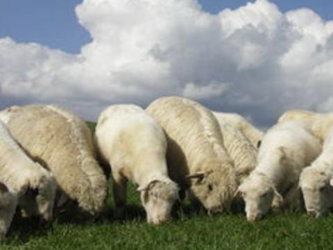 算命免费我属羊命好吗?