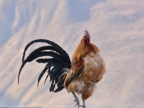 属鸡的幸运颜色和数字是什么哪一个?