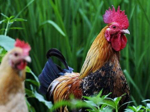 属鸡的最佳婚配属相是什么生肖?