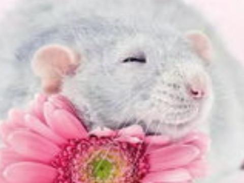 属鼠的和属鼠的婚姻相配吗幸福吗?