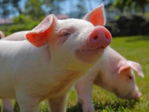 属猪的女人命好不好 性格如何?