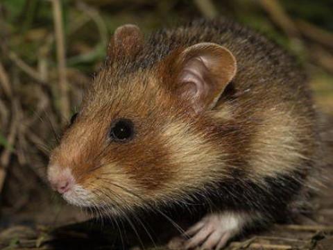 属鼠人的命运怎么样 什么时候能走大运?