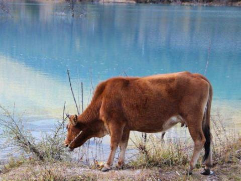 属牛的性格和弱点 一生命运如何?