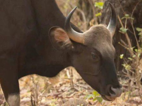 属牛的性格和脾气优点和缺点有哪些?
