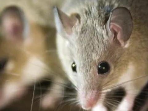 属鼠什么颜色最聚财幸运色是什么?