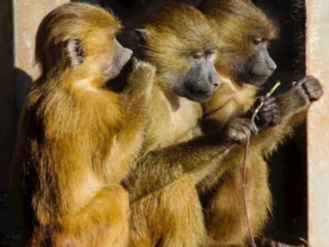 属猴不宜婚配哪些生肖 与什么属相相克?