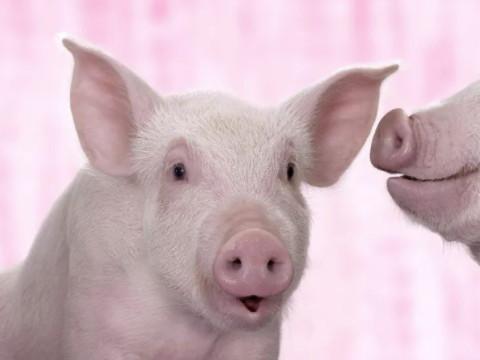 1995年属猪一生的命运 晚年怎么样?