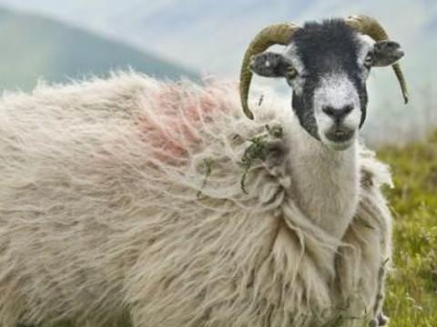1979年属羊的运程今年如何能走大运吗?