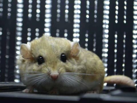 84年属鼠能戴貔貅吗 适合什么吉祥物?