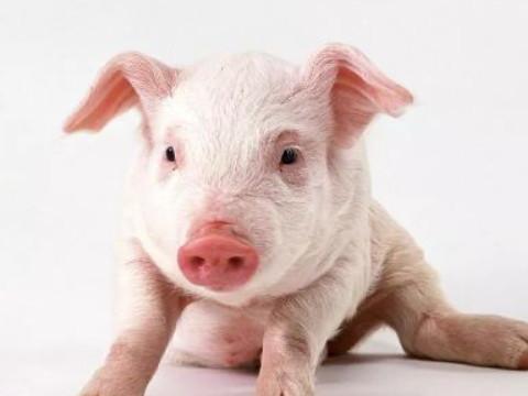 属猪有哪些年出生的 性格命运如何?