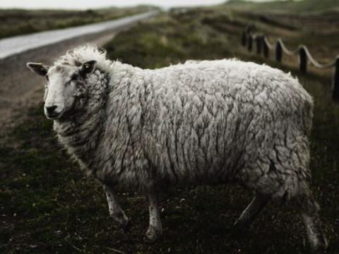 属羊的是哪一年出生的最好 命好有福?