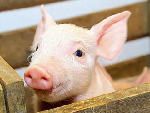 属猪人未来5年的运势怎么样呢?