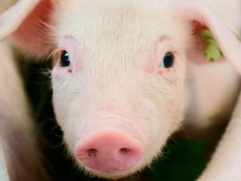 属猪人一辈子的克星是谁 与谁属相相克?