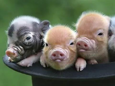 属猪的性格和脾气及爱情女 命运如何?