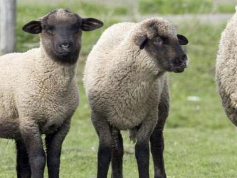 属羊1967年的女人命运 晚年命好吗?