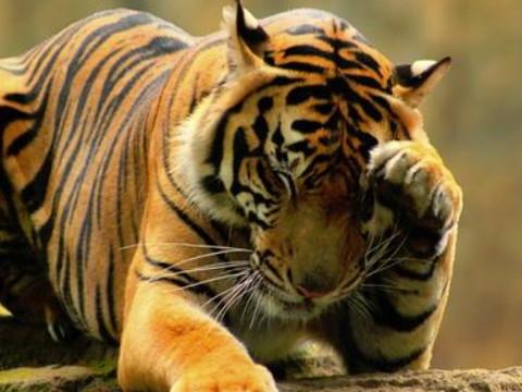 属虎的今年几岁什么年出生的 2022年命运如何?