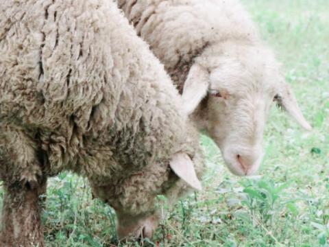 1991年属羊命运如何 能富贵吗?