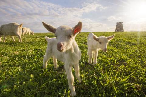 农历几月的羊有福气 几月出生的属羊人好运
