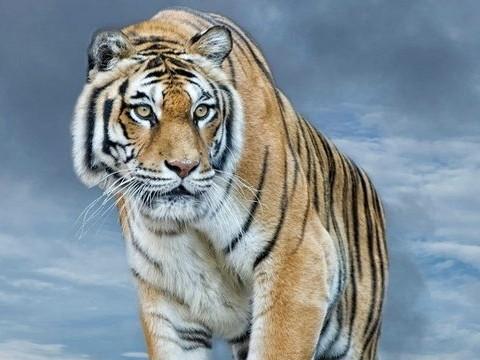 属虎的几点出生有福气 命好还富贵?