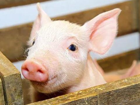 属猪十一月生人命好不好 命运如何?