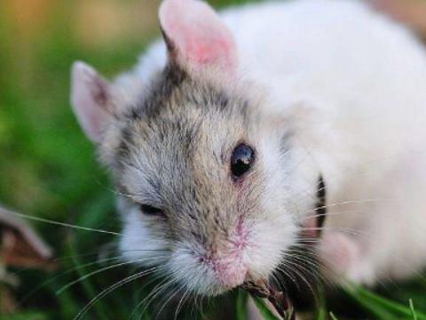 属鼠的什么时辰出生比较好 能富贵平安?