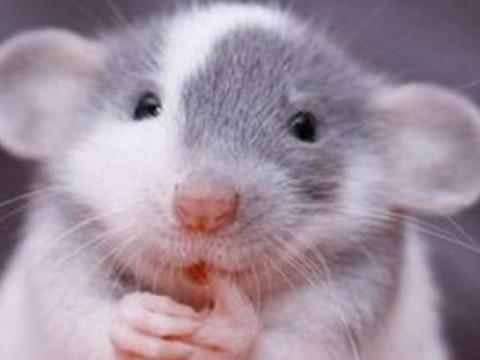 生肖鼠的人命运如何 什么时候能走大运?
