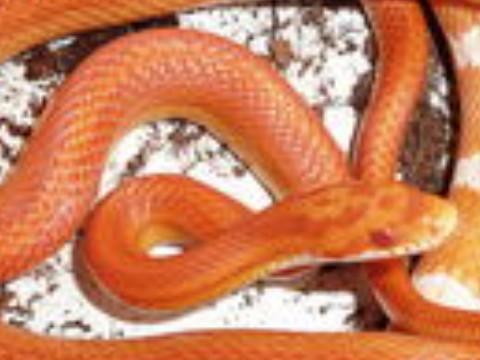 农历11月出生的蛇女孩命运如何 命好吗?