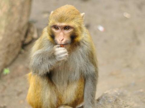 80年属猴的是什么命 命运如何?